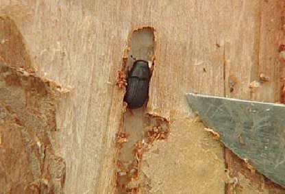 What kind of projects can beetle kill pine be used for