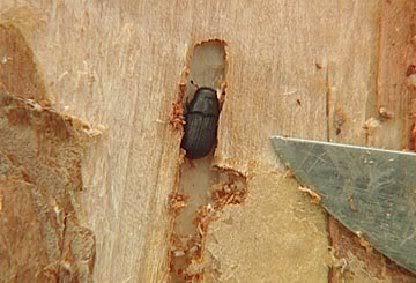a mountain pine beetle