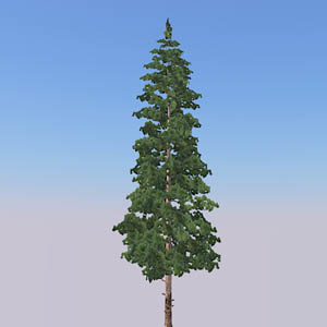 Colorado Lodgepole Pine
