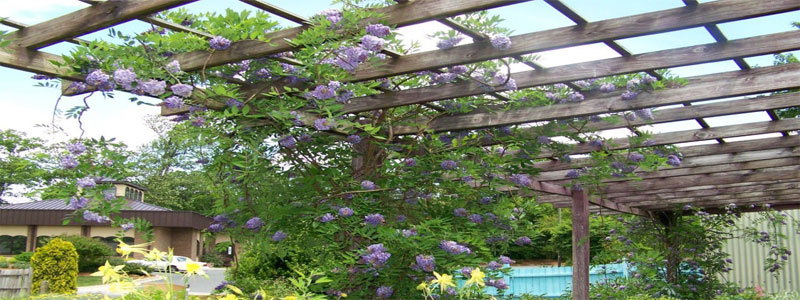 a pergola with many purple flowers