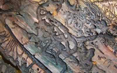 Beetle Kill Pine Epidemic   Explained